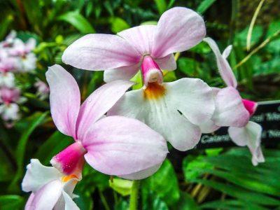 Orquídea Calanthe