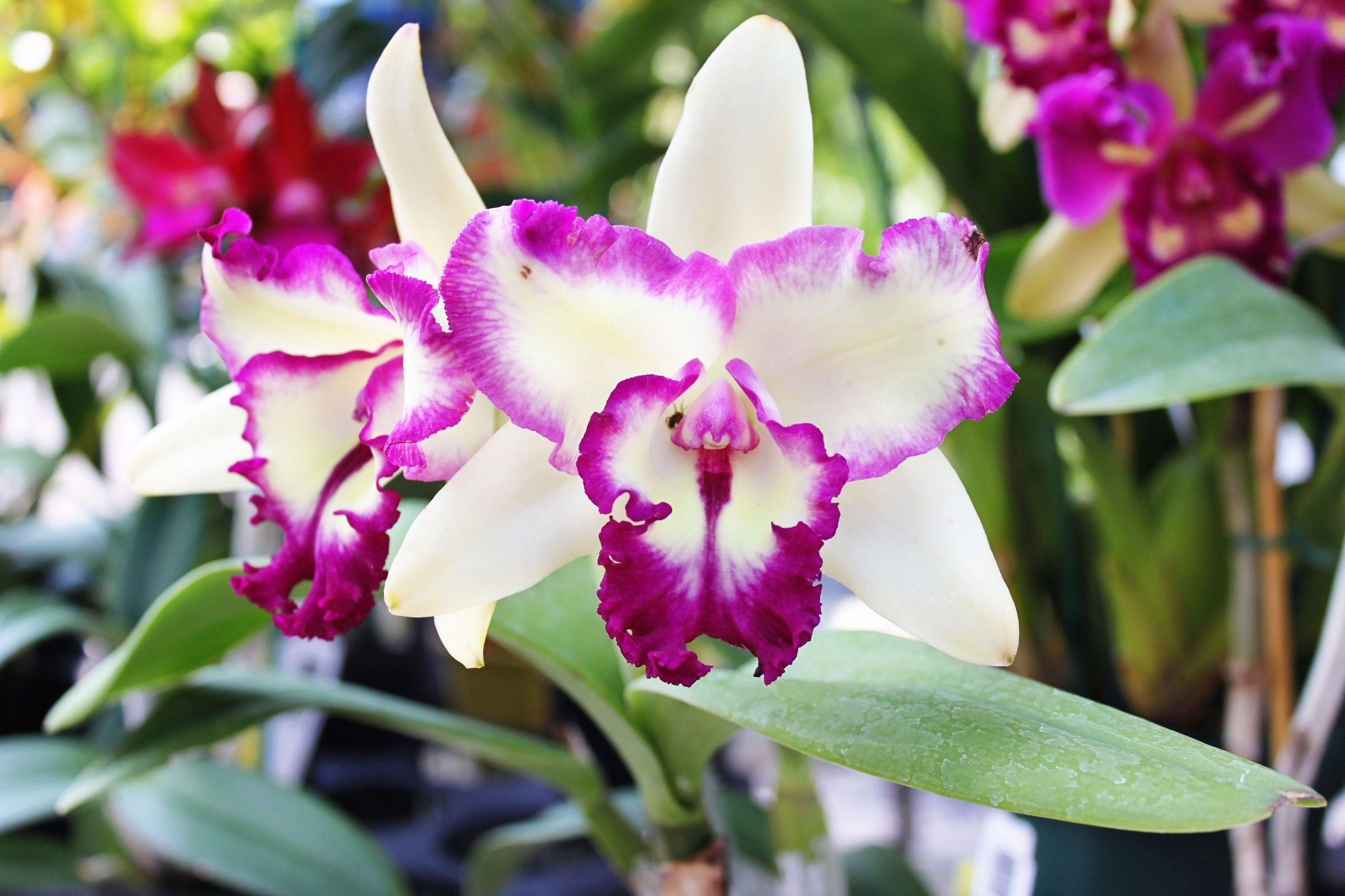 Requerimientos de temperatura, fertilización, riego y humedad de las orquídeas
