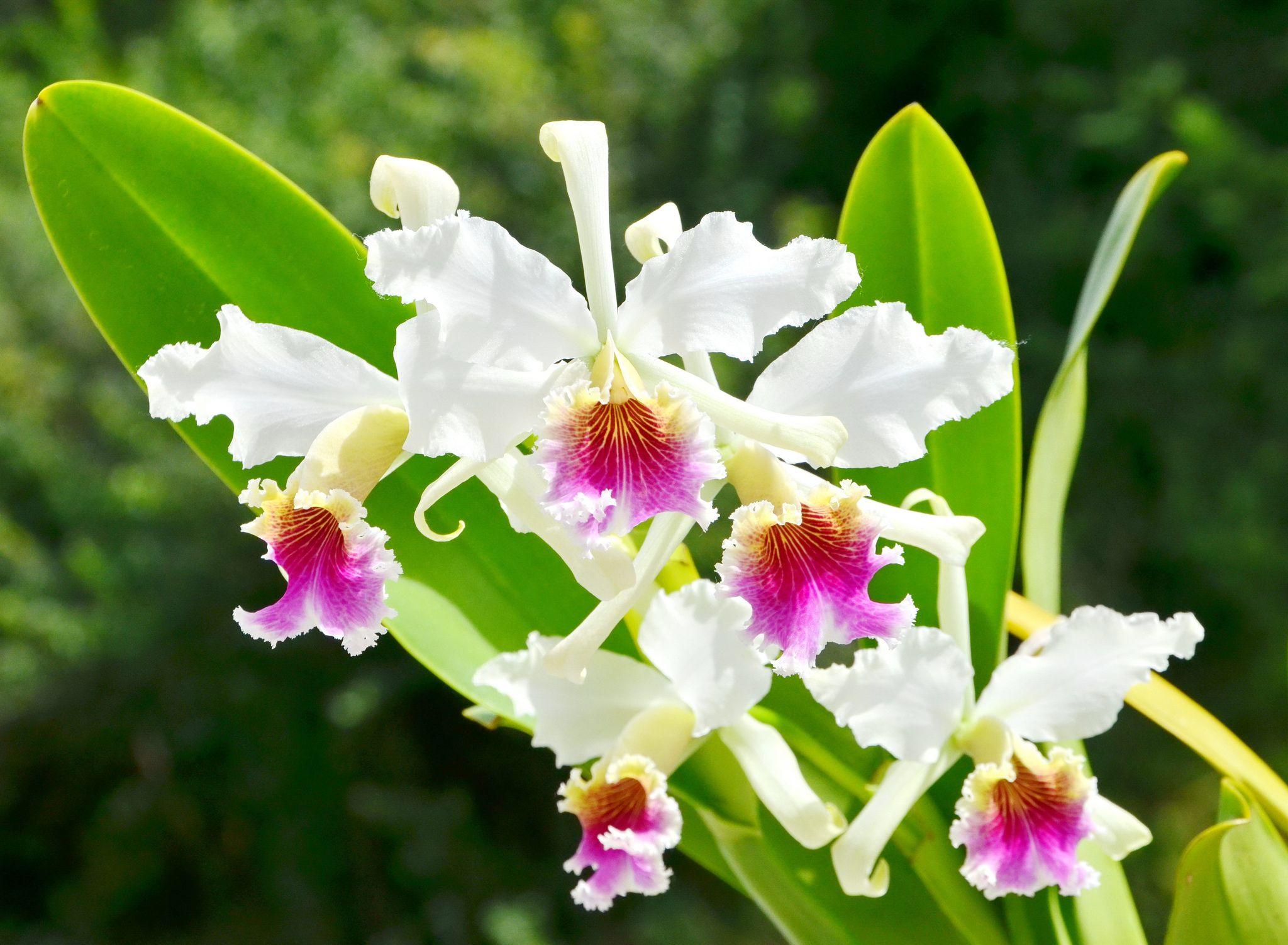 Orquídeas del Perú